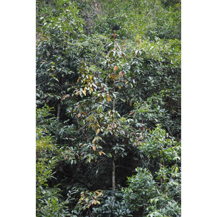 Magnolia kwangtungensis - Chinese manglietia