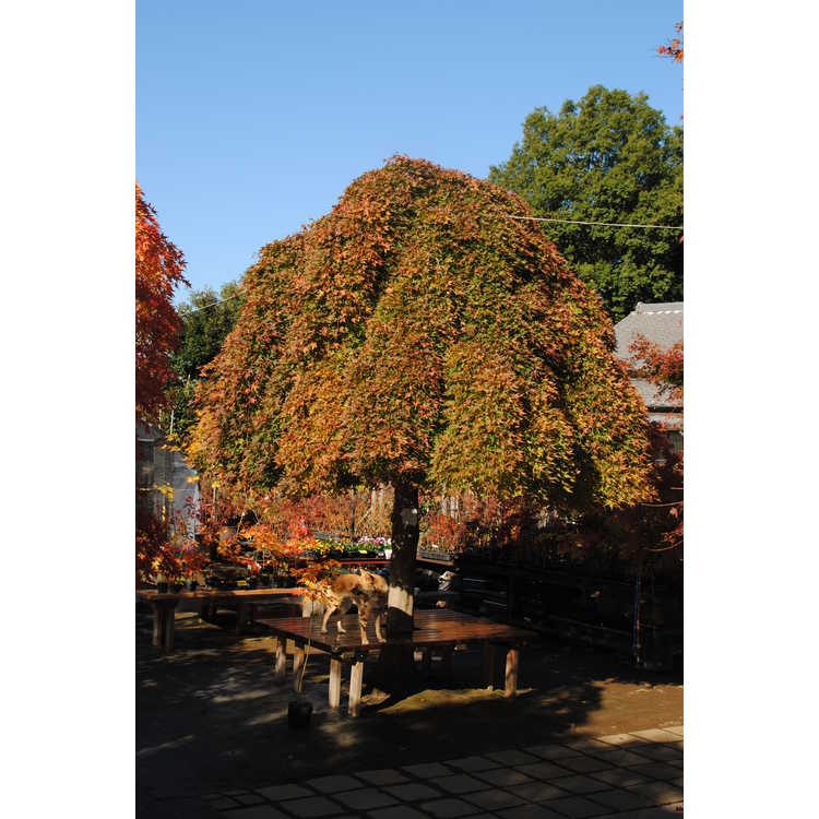 Acer buergerianum 'Angyo Weeping'