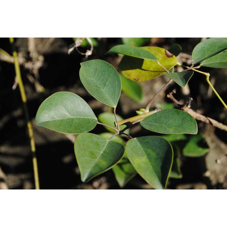 Stauntonia hexaphylla - Japanese stauntonia