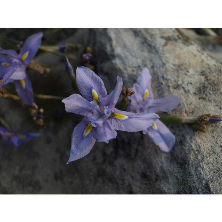 Moraea polystachya - butterfly iris