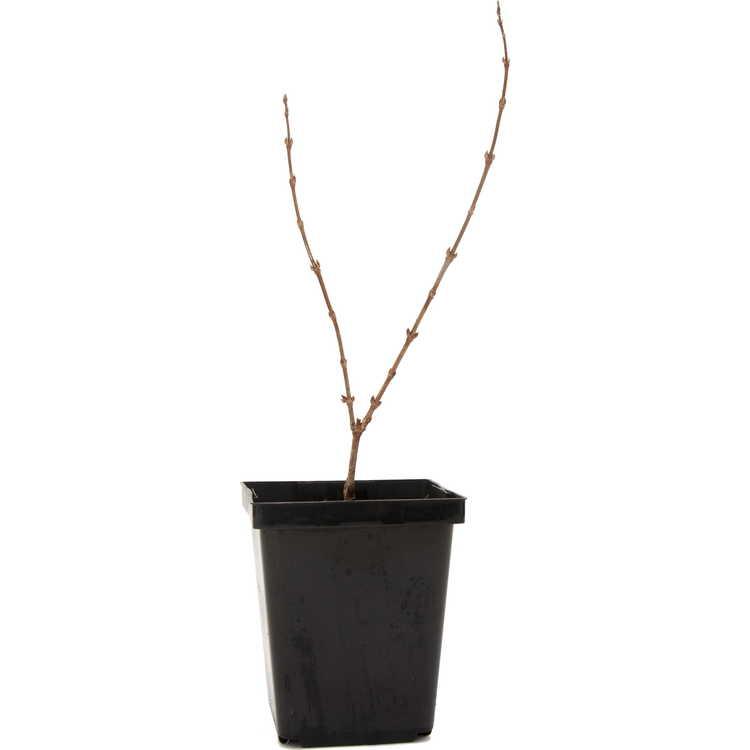 Deutzia gracilis 'Nikko Dawn'