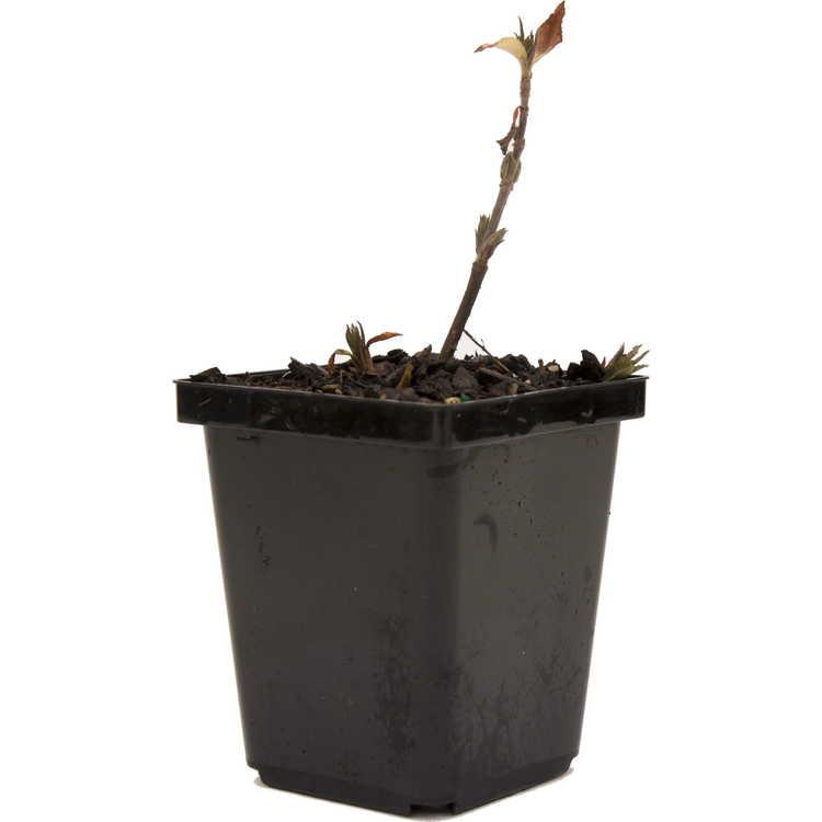 Diervilla rivularis 'Troja Black'
