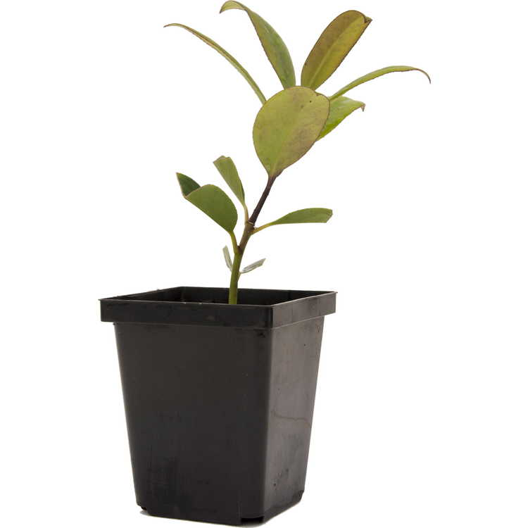 Ilex integra × I. latifolia