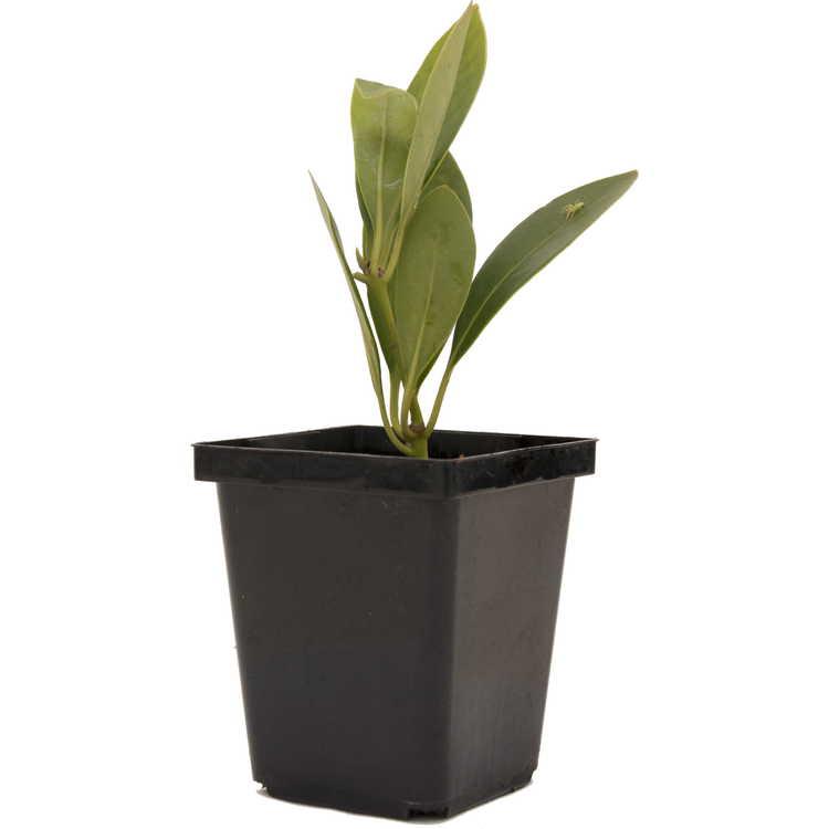 Illicium parviflorum (small leaf)