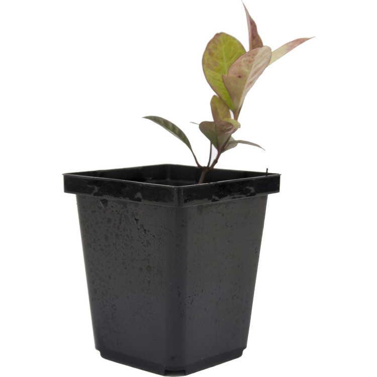 Trachelospermum lanyuense