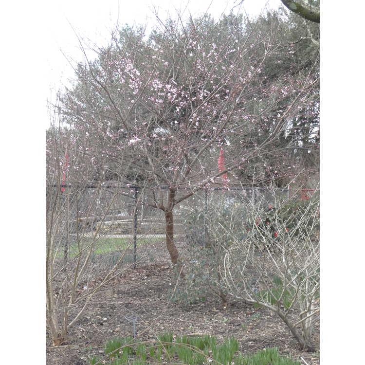 Prunus mume Okitsu-akabana