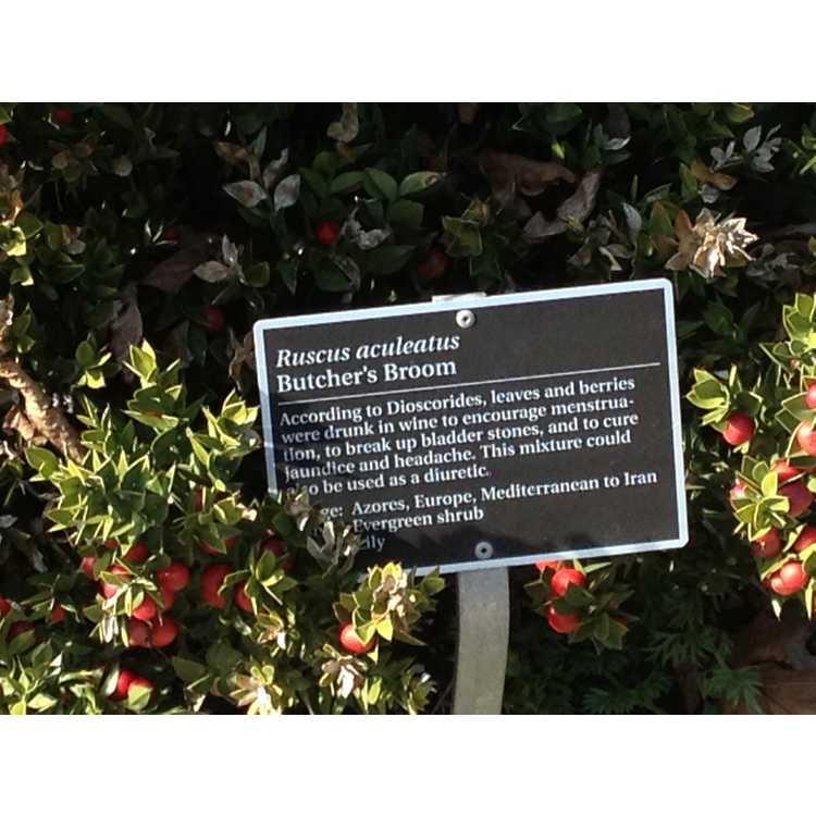 Ruscus aculeatus - butcher's broom