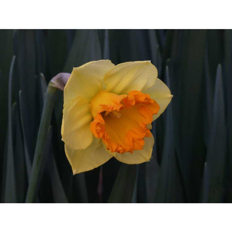 Narcissus Orange Frilled