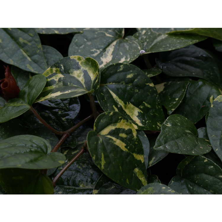 Piper kadsura (variegated)