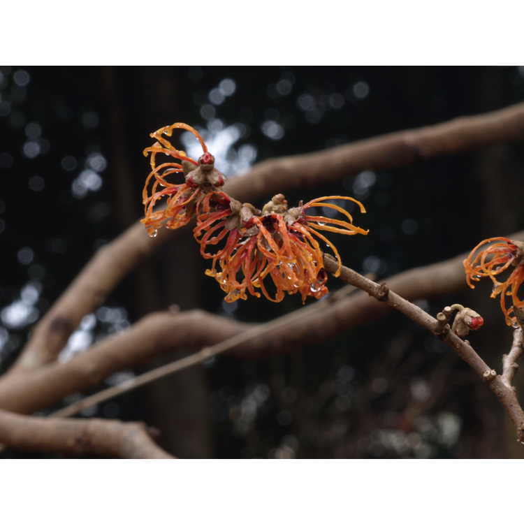 Hamamelis ×intermedia 'Jelena'