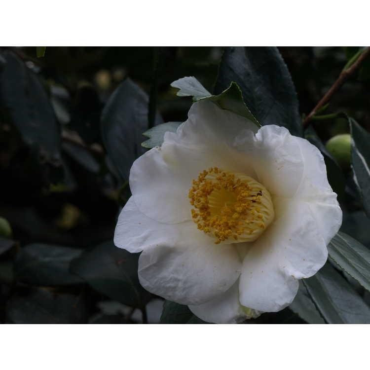 Camellia japonica Quercifolia