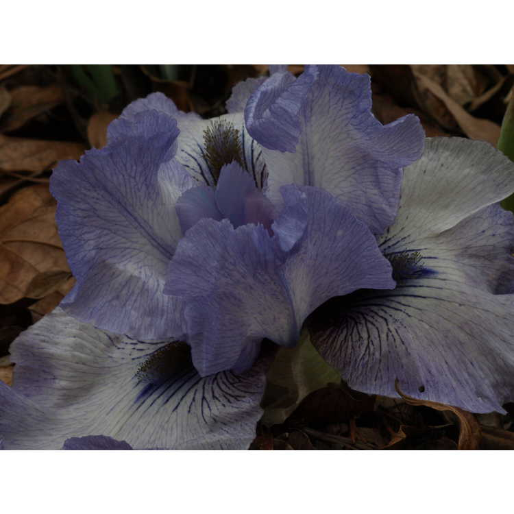 Iris 'Walker Ross' - arilbred iris