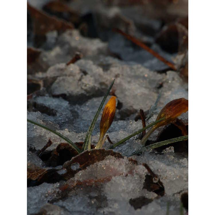 Crocus olivieri subsp. balansae 'Zwanenburg'