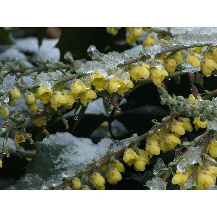 Mahonia japonica Hivernant