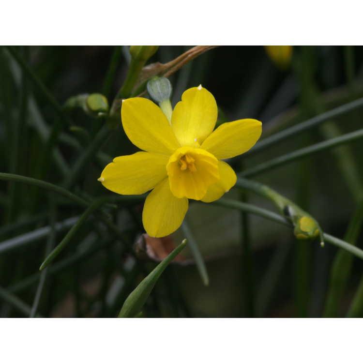 Narcissus jonquilla henriquesii
