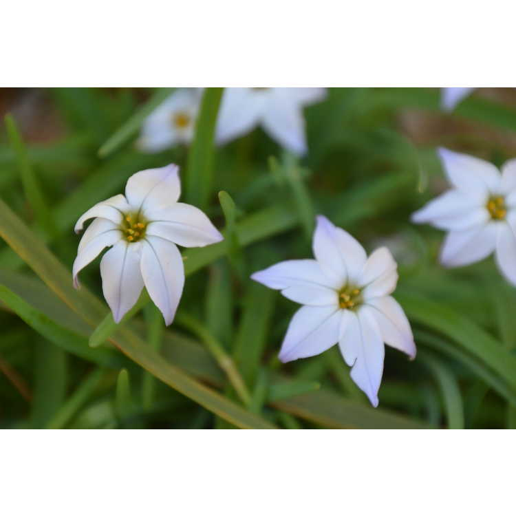Ipheion uniflorum - spring star flower