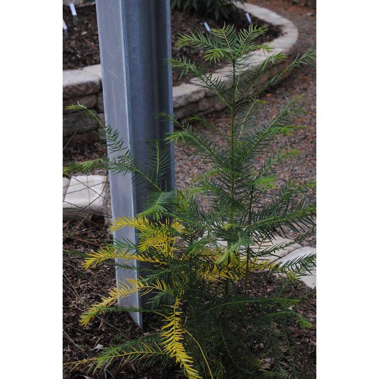Torreya grandis (variegated) - Chinese nutmeg-tree