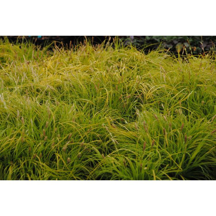 Carex oshimensis 'Everillo' - Evercolor variegated Japanese sedge