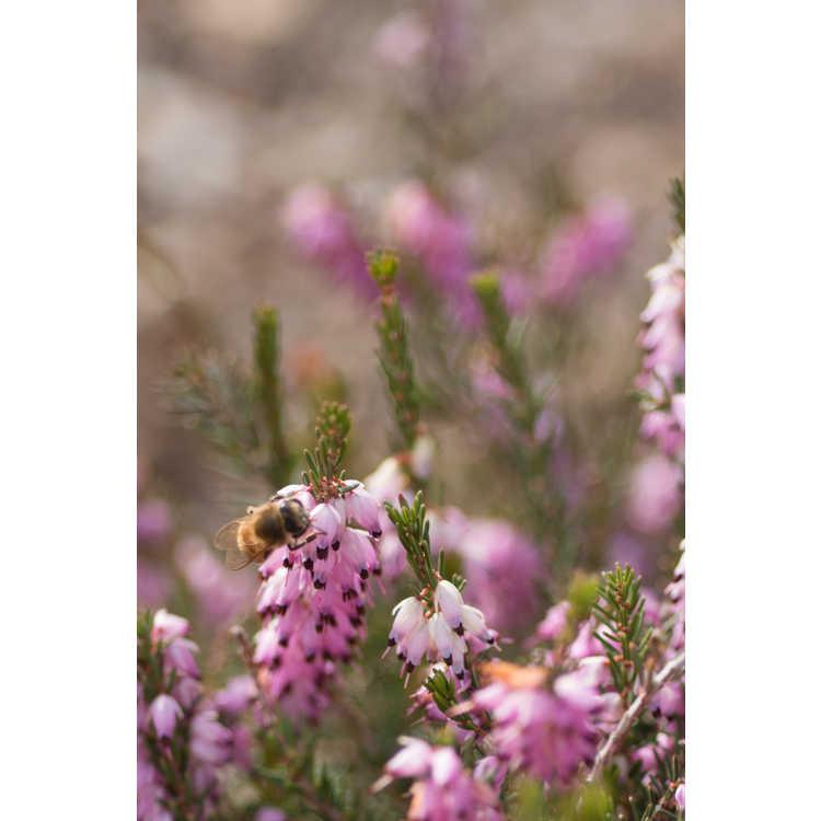 Erica ×darleyensis 'Mediterranean Pink'