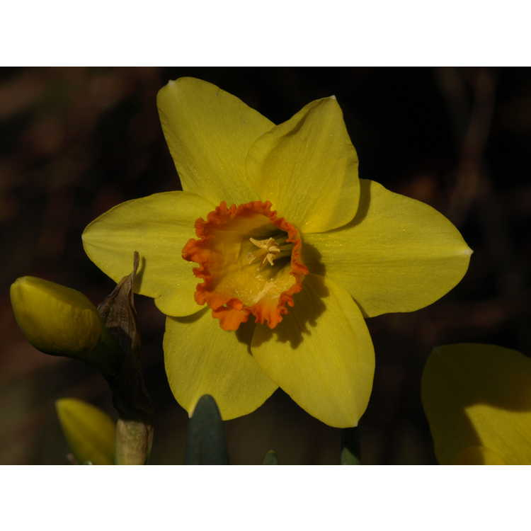 Narcissus 'Pinza'