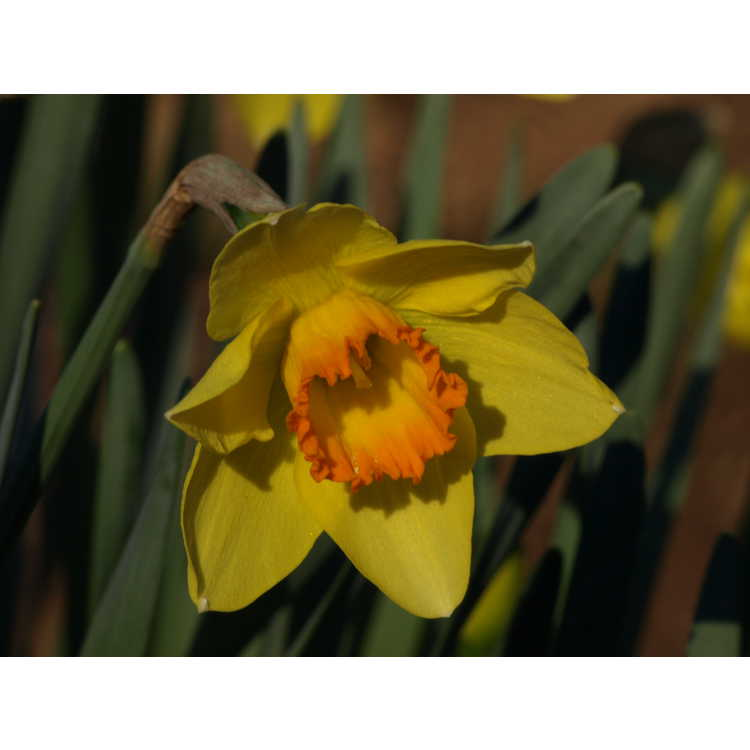 Narcissus 'Pinza' - large-cupped daffodil