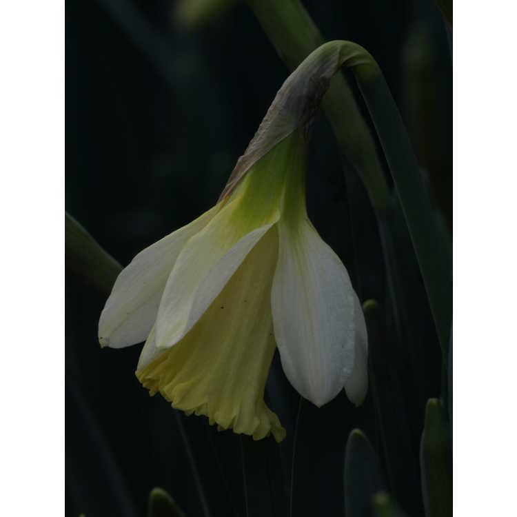 Narcissus pseudonarcissus moschatus