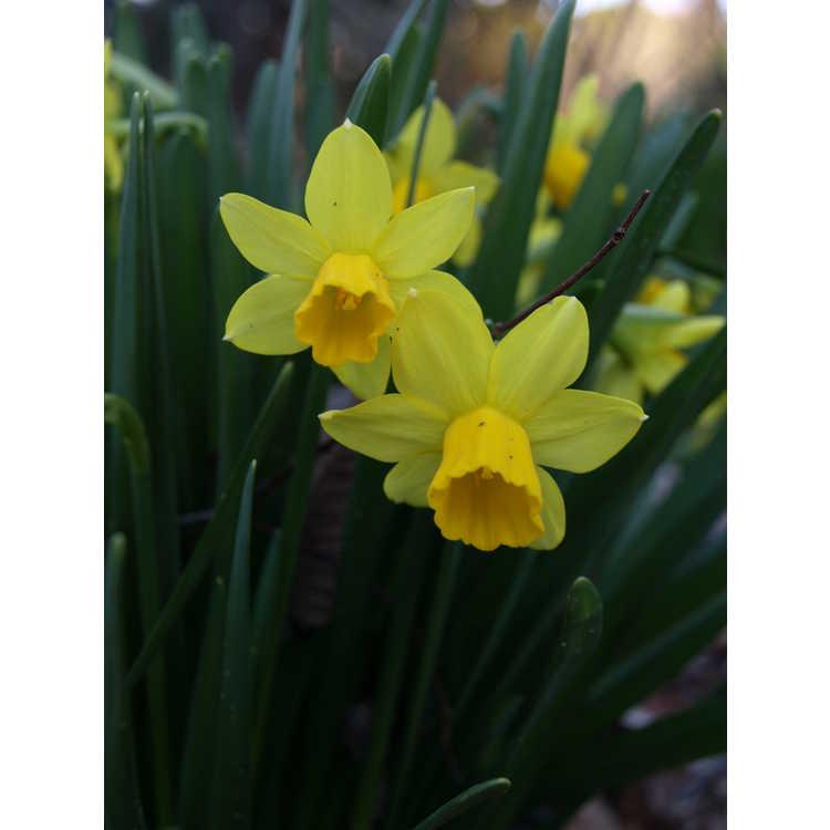 Narcissus 'Tête-à-Tête' - miniature daffodil