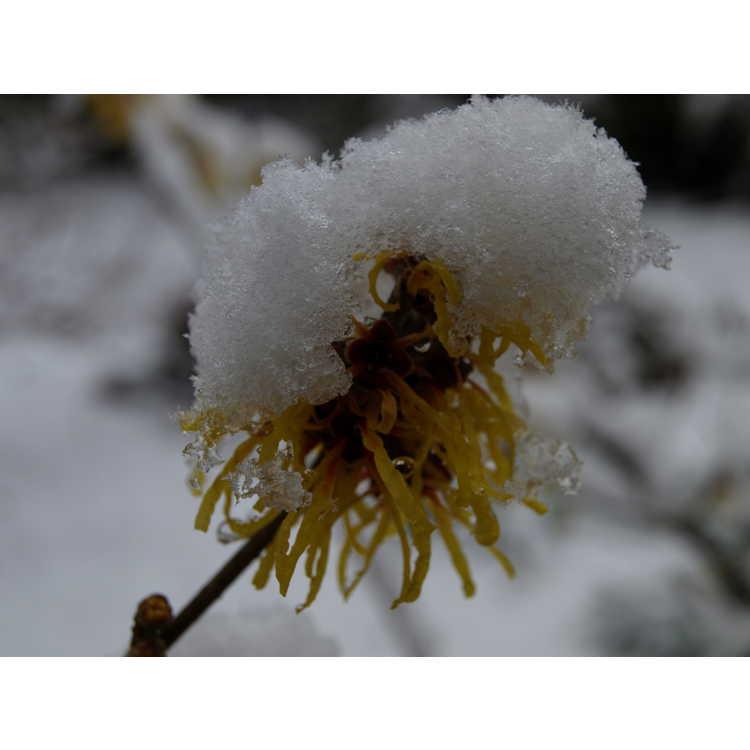 Hamamelis mollis 'Goldcrest' - Chinese witchhazel