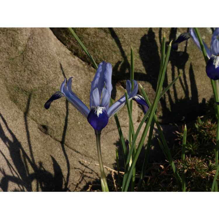 Iris [Reticulata Group] 'Spring Time' - netted iris