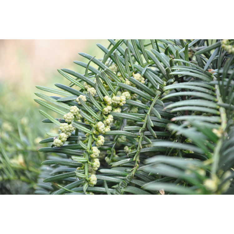 Cephalotaxus harringtonia 'Fritz Huber'