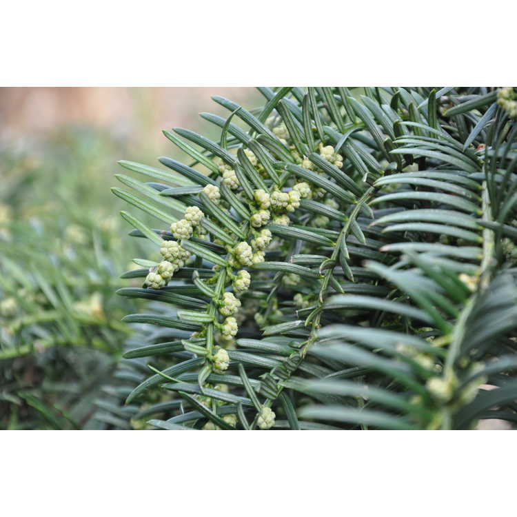 Cephalotaxus harringtonia 'Fritz Huber' - dwarf Japanese plum-yew