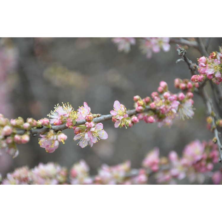 Prunus jacquemontii - Afghan bush cherry