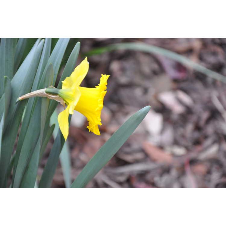 Narcissus 'Golden Sunbeam' - trumpet daffodil