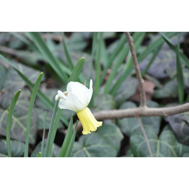 Narcissus Surfside