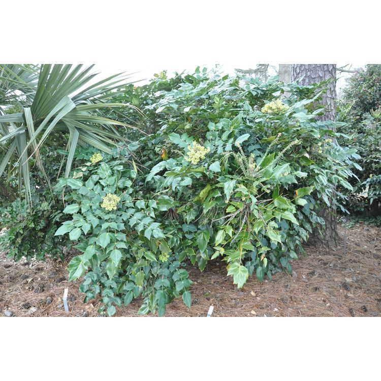 Mahonia (Yucca Do hybrids) - grapeholly