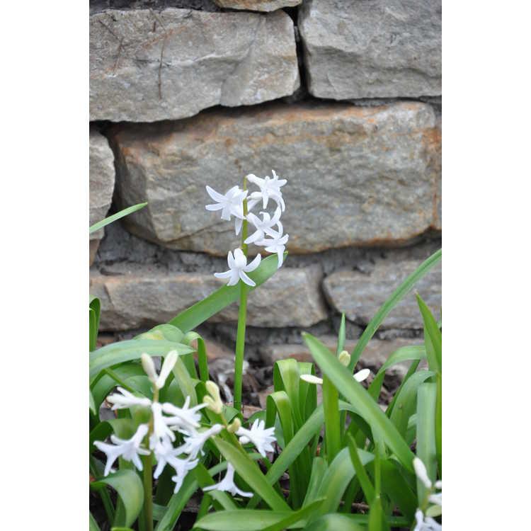 Hyacinthus orientalis White Festival
