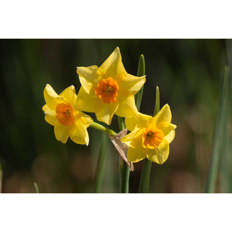 Narcissus 'Falconet'