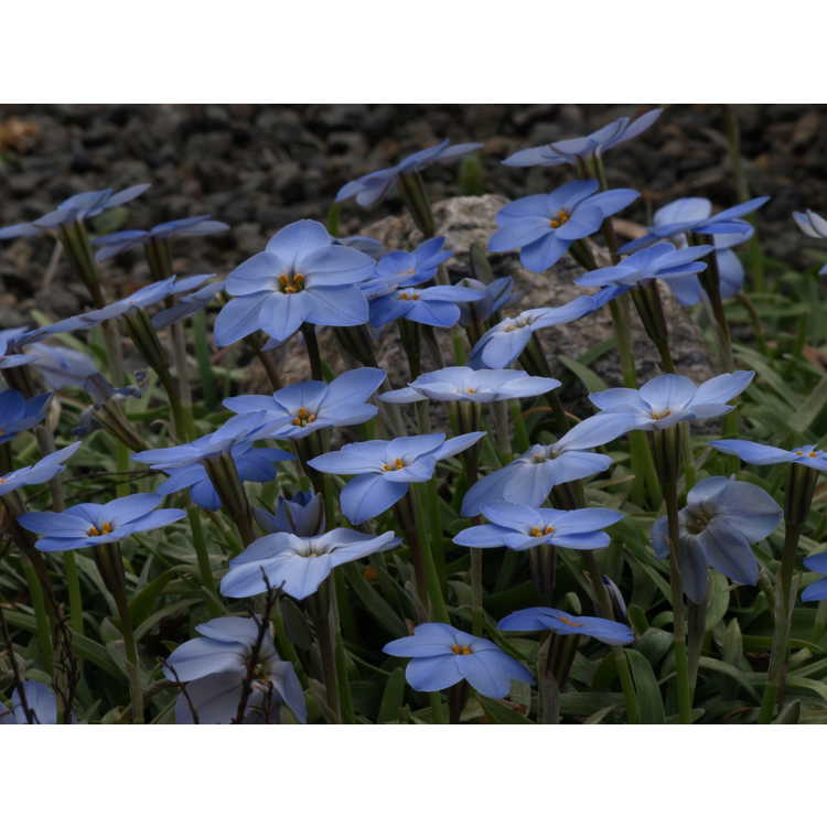 Ipheion uniflorum 'Rolf Fiedler'