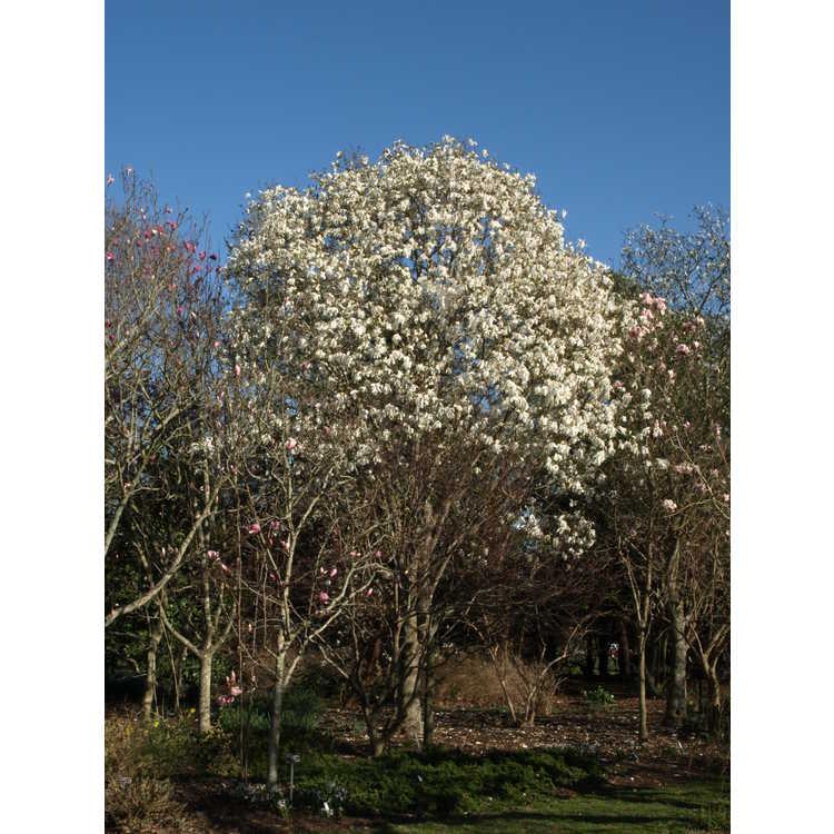 Magnolia kewensis Wadas Memory