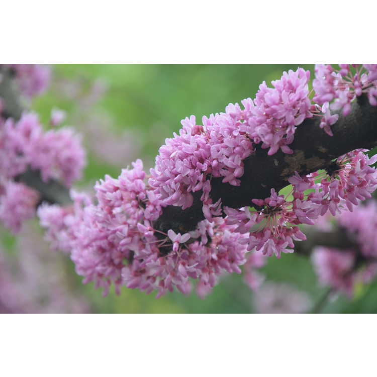 Cercis canadensis 'Floating Clouds'