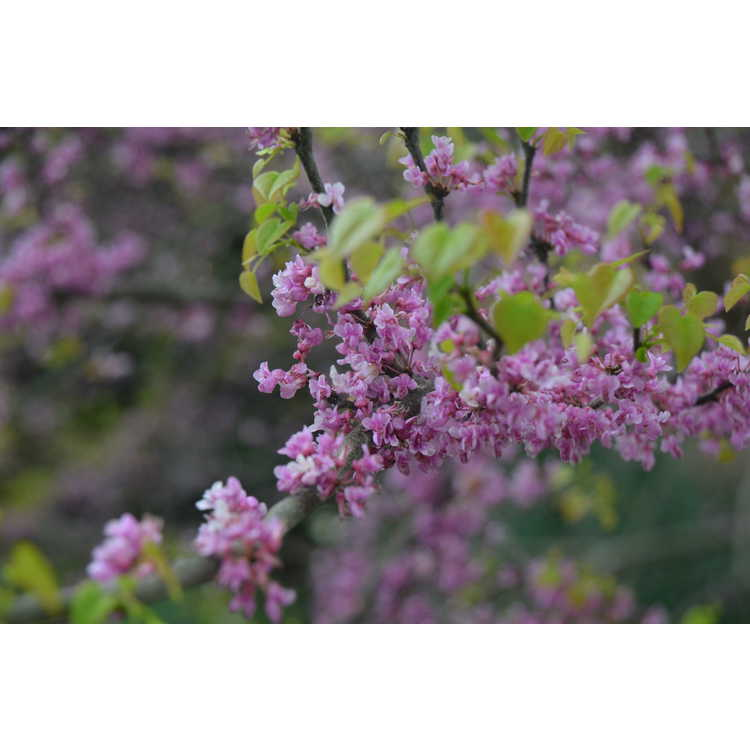 Cercis canadensis 'Ace of Hearts'