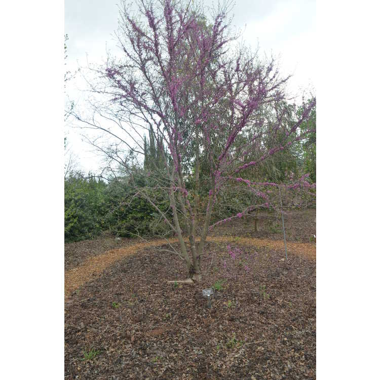 Cercis canadensis 'Tom Thumb'