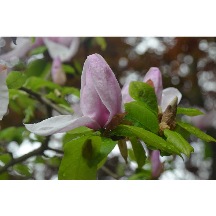 Magnolia Eskimo