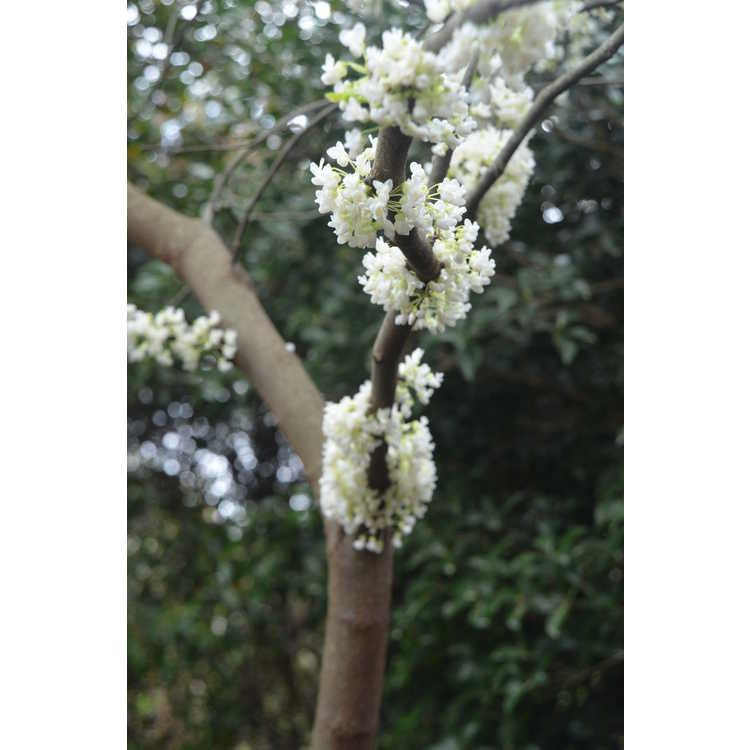 Cercis canadensis 'Royal White' - white eastern redbud