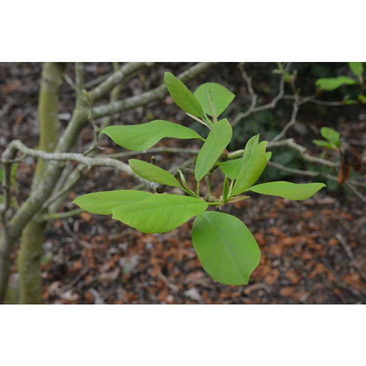 Magnolia 'Anticipation'