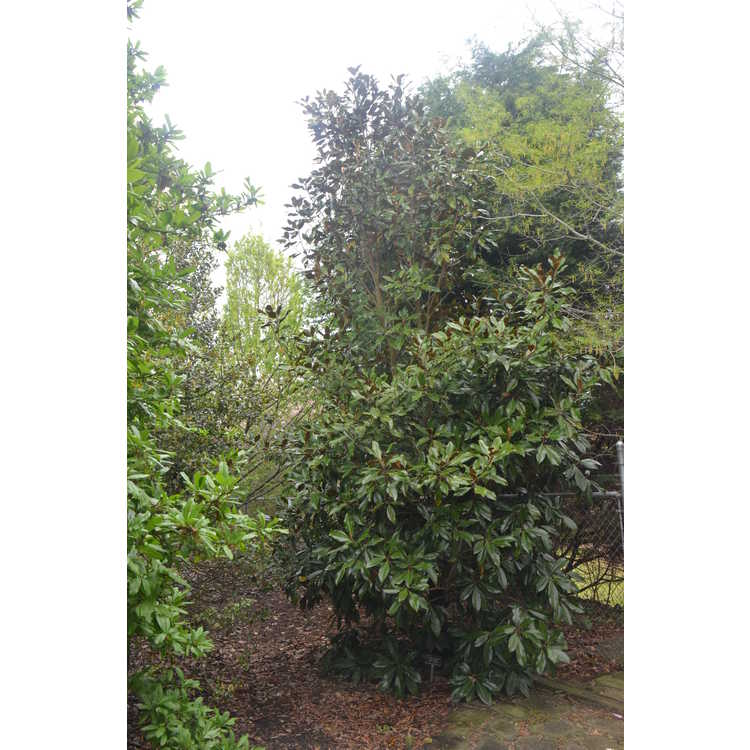 Magnolia grandiflora Kay Parris
