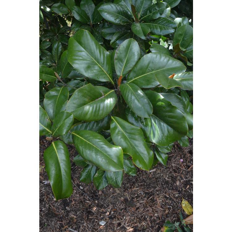 Magnolia grandiflora 'Southern Pride'
