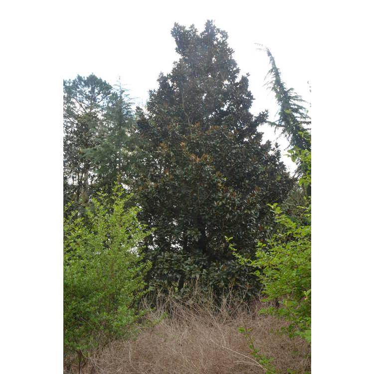 Magnolia grandiflora 'Hasse'