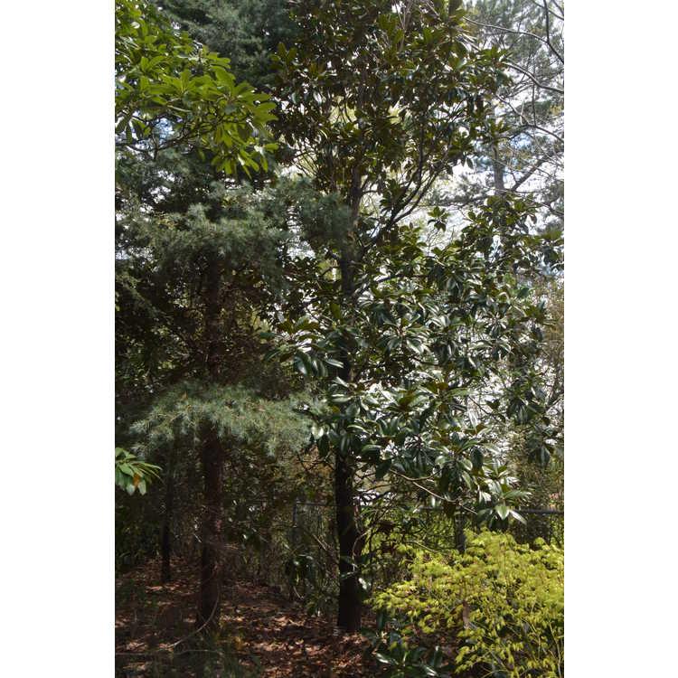 Magnolia grandiflora 'Victoria' - Southern magnolia