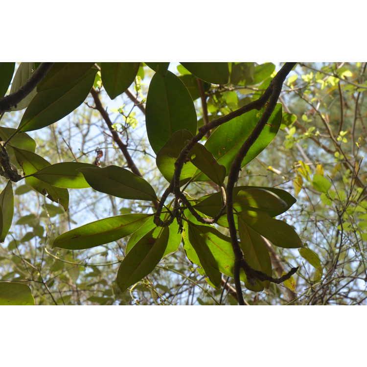 Magnolia grandiflora 'Goliath' - Southern magnolia
